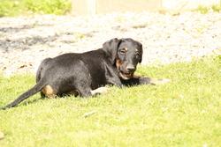 Jarko, chien Jagdterrier