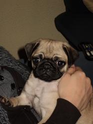 Francky, chien Carlin