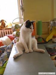 Dhao Bleu Océan, chat Japanese Bobtail