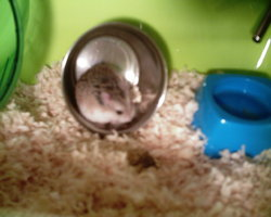 Charly, rongeur Hamster