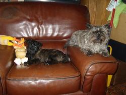 Fergie, chien Cairn Terrier