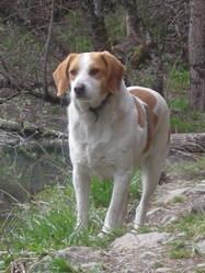 Guapo, chien Beagle