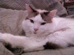 Lidie, chat Gouttière
