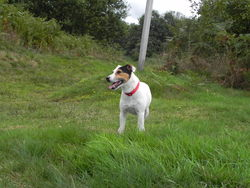 Tony, chien Parson Russell Terrier