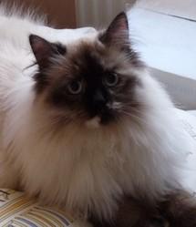 Ecybel, chat Sibérien