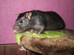 Itchy , rongeur Rat