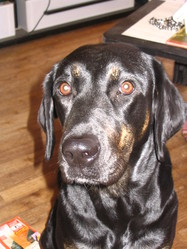 Cannelle, chien Labrador Retriever