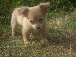 Praline, chien Chihuahua