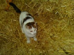 Coton, chat Européen