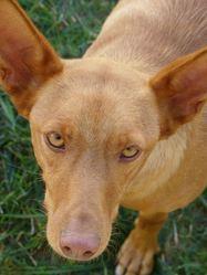 Carina, chien Podenco canario