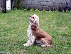Belle, chien Cocker américain