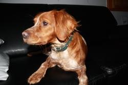 Devine, chien Épagneul breton