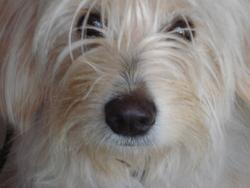 Sun, chien Berger des Pyrénées
