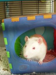 Mao, rongeur Rat