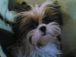Lou, chien Shih Tzu