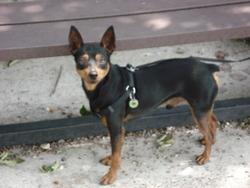 Cosy, chien Pinscher