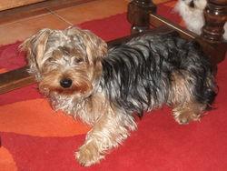 Diabolo, chien Yorkshire Terrier