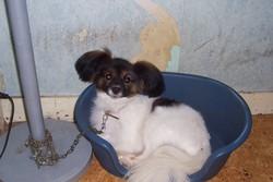 Nath, chien Épagneul nain continental