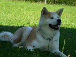 Sakura, chien Akita Inu