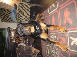 Bronx, chien Rottweiler