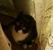 Mimille, chat Européen