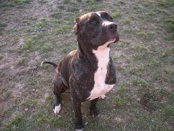 Zia, chien Dogue argentin