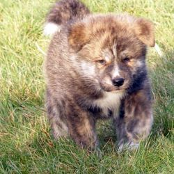 Kazan, chien Akita Inu