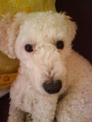 Chanelle, chien Caniche