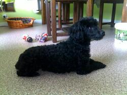 Vicky, chien Caniche