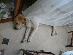 Vicky, chien Labrador Retriever