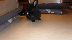 Reglisse, rongeur Lapin