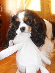 Ellya, chien Cavalier King Charles Spaniel
