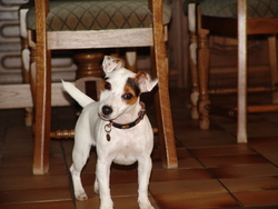Effie, chien Jack Russell Terrier