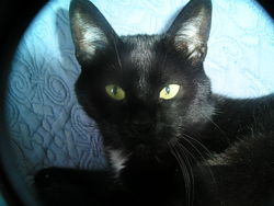 Crevette, chat Européen