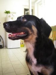 Shiva, chien Berger allemand