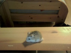 Eclaire, rongeur Hamster