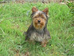 Febus, chien Yorkshire Terrier