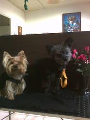 Aladin,victoria, chien Yorkshire Terrier