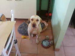 Coquettte, chien Labrador Retriever
