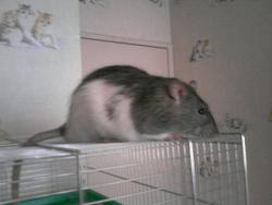 Démon, rongeur Rat