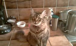 Calista, chat Européen