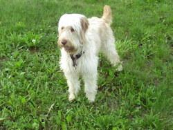 Eclipse, chien Griffon fauve de Bretagne