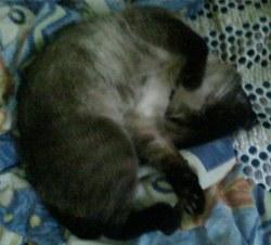 Bibou, chat Siamois
