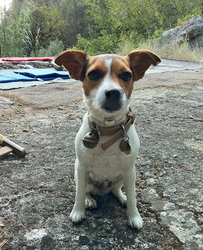 Frenchy, chien Jack Russell Terrier
