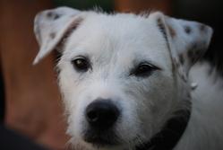 Doris, chien Jack Russell Terrier