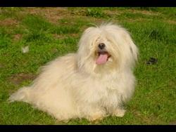 Uline, chien Bichon havanais