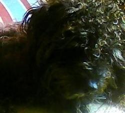 Droopy, chien Bichon à poil frisé