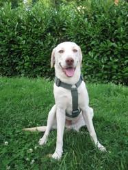 Djengo, chien Labrador Retriever