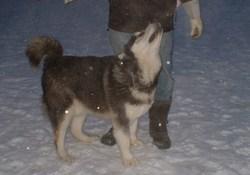 Kimo, chien Malamute de l'Alaska