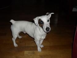 Edgar, chien Jack Russell Terrier